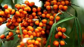 生命の果実・シーバックソーン(サジー)。果実とオイルの効果 総まとめ!