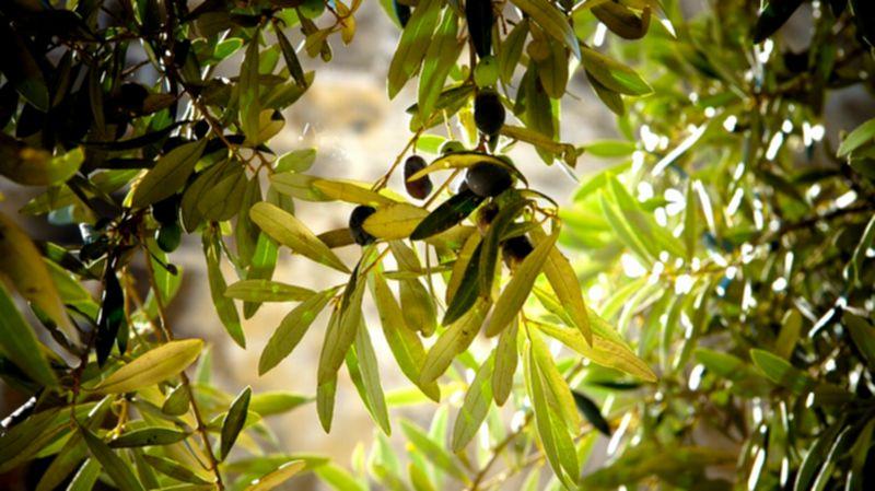 水虫 オリーブ葉