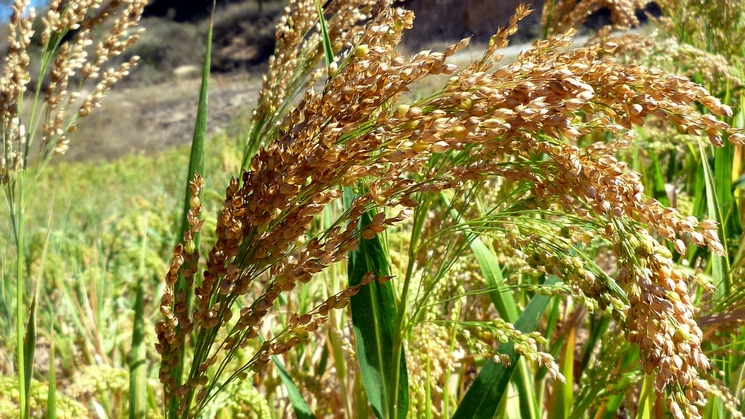きび 黍 もちきび 雑穀