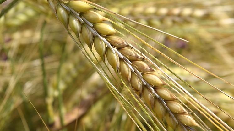 大麦 押し麦 もち麦 麦